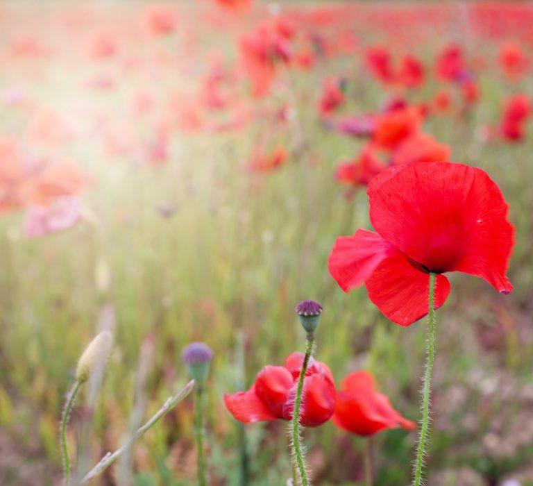 poppies-2147078_1920